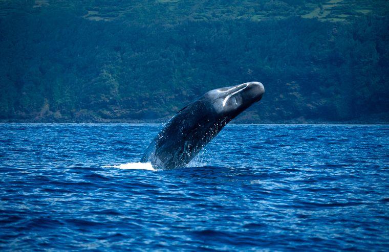 Pottwale findest du auch vor der Küste der portugiesischen Inselgruppe Azoren.