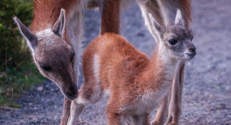 Einheimische Tiere: Guanakos im Nationalpark Torres del Paine.