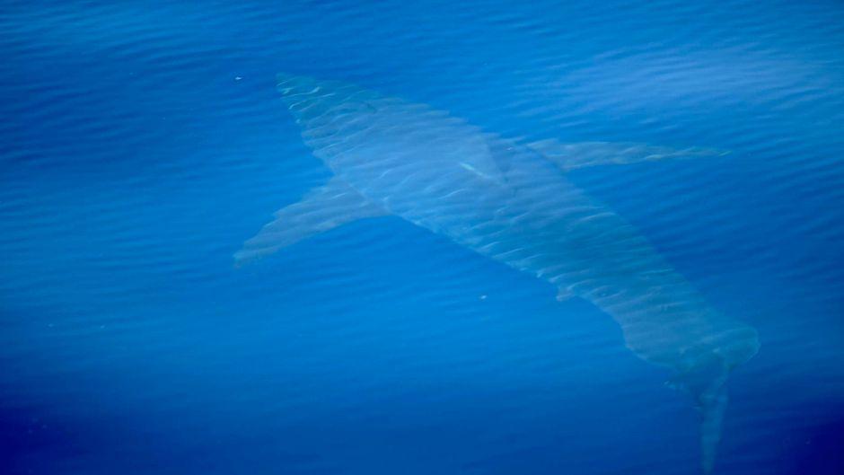 Das erste Mal seit 30 Jahren: Südlich von Mallorca wurde ein Weißer Hai gesichtet.