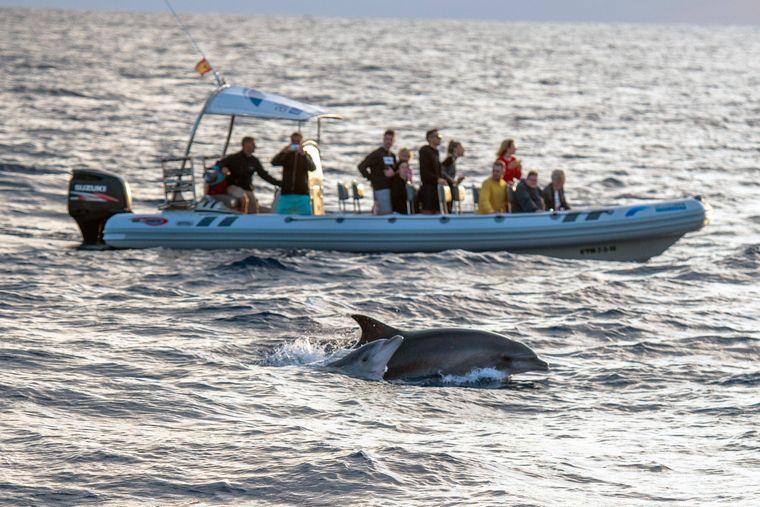 Ein weiblicher Delfin taucht in der Morgensonne vor einem Touristenboot vor der Insel Mallorca auf.