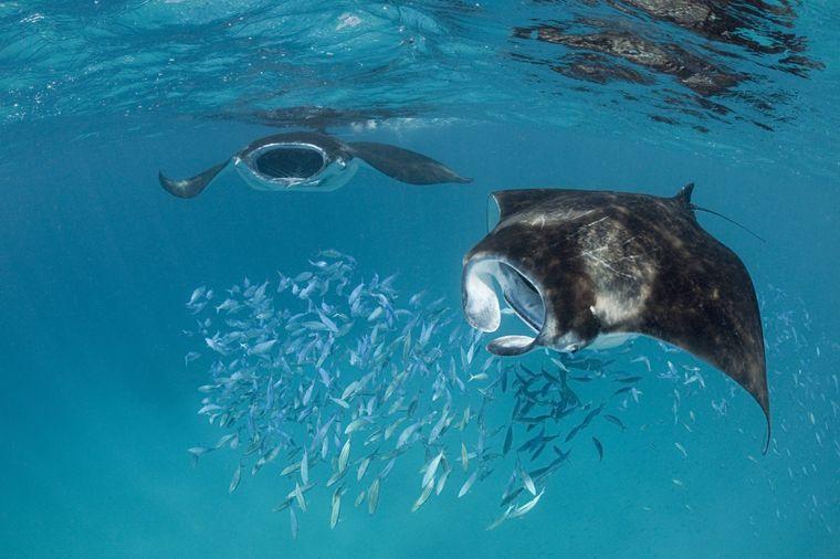Die Hanifaru-Bucht im Baa-Atoll ist bekannt für die große Anzahl an Mantarochen, die in das geschützte Meeresgebiet kommt.