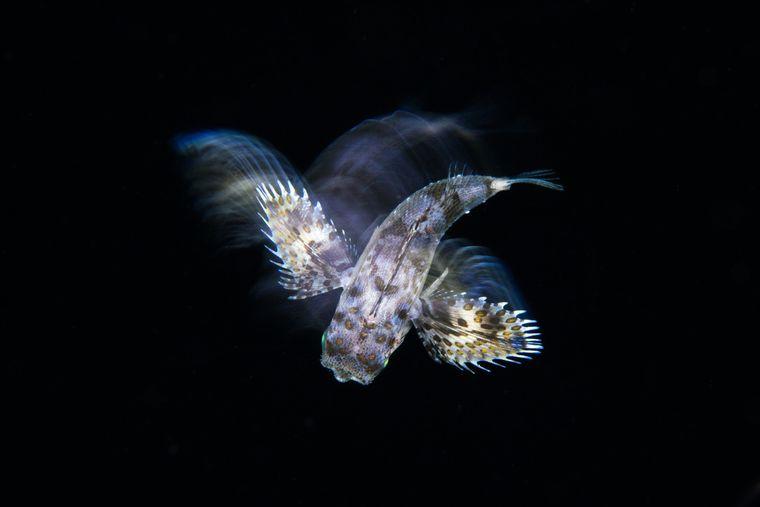 """Mit seiner Serie gewann Marco Steiner aus Österreich in der Kategorie """"Natur, Meerestiere, Wildtiere"""". Dieses Fotos entstand beim Tauchen auf den Malediven, es zeigt einen jungen Knurrhahn."""