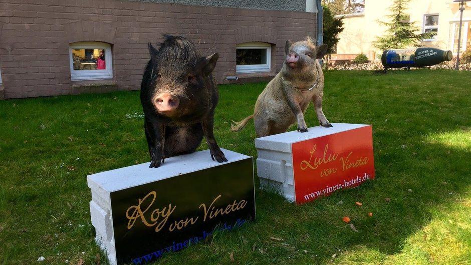 Die Hotel-Schweine Lulu und Roy.
