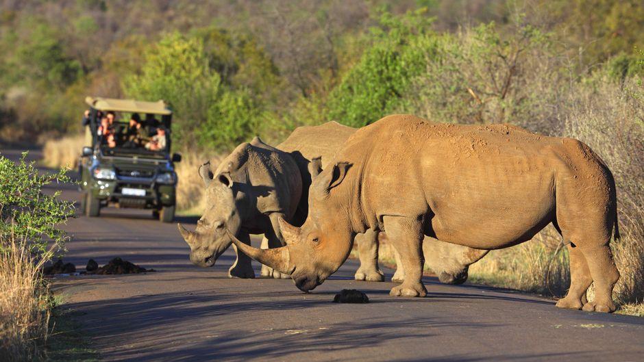 Safari in Südafrika: Ab Oktober soll das für Touristen aus dem Ausland wieder möglich sein.