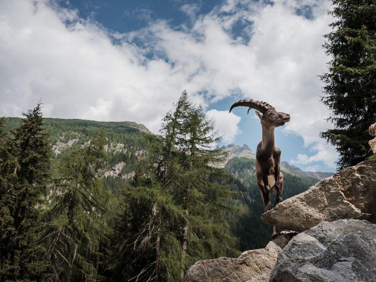 In der Bergwelt des Pitztals leben heute rund 1.200 Steinböcke.