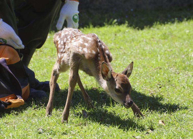 Ein neugeborenes Hirschbaby in Nara.