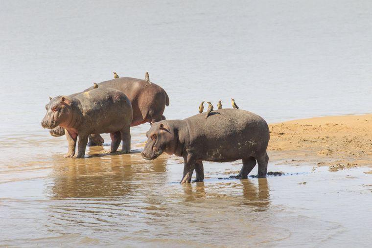 Eine Gruppe Flusspferde mit Vögeln auf dem Rücken in Sambia.