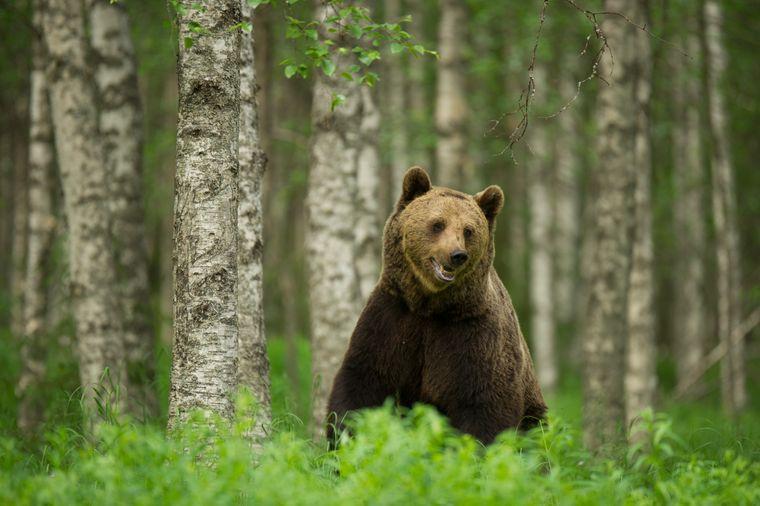 Ausgehend vom Dorf Lentiira bietet die Firma Taiga Spirit unter anderem Touren auf den Spuren von Bären an.