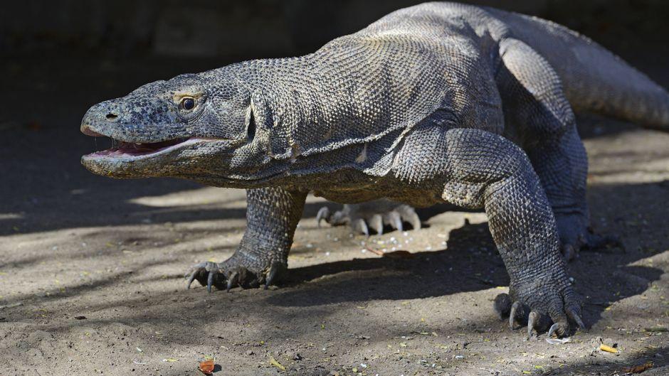 """In Indonesien soll offenbar eine Touristenattraktion im """"Jurassic Park""""-Stil mit Komodowaranen entstehen."""