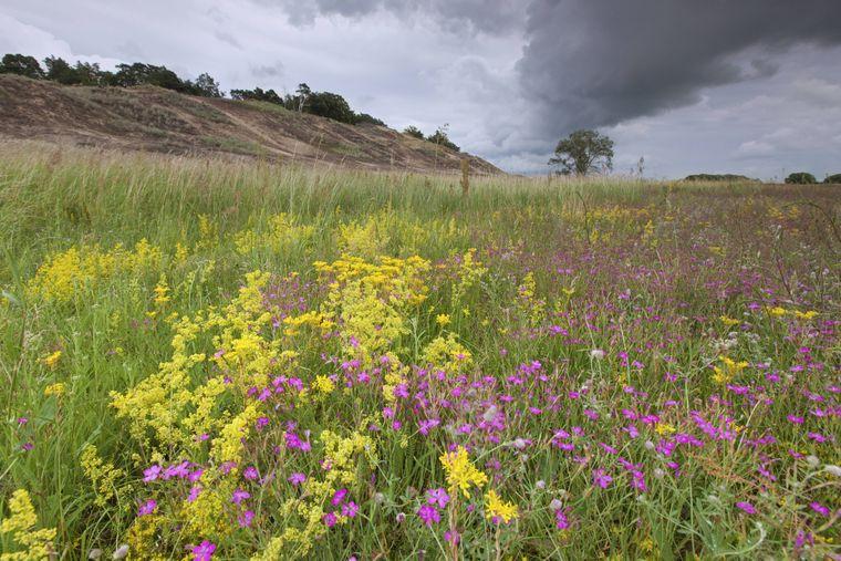 Wilde Pflanzen blühen mitten in der von Sandrasen durchzogenen Dünenlandschaft Klein Schmölen.