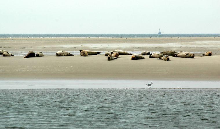Gemütlich räkeln sich die Seehunde auf einer Sandbank vor Büsum.