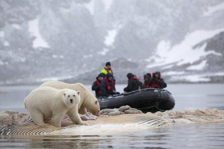 Zwei Eisbären stehen fressend auf einem Walkadaver in Spitzbergen, im Hintergrund ein Expeditionsboot.