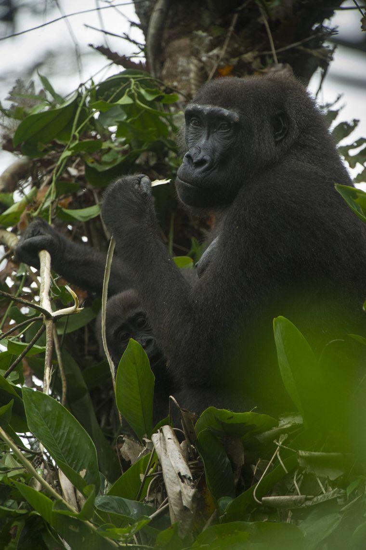 Gorilla auf einem Baum im Odzala-Kokoua-Nationalpark in der Republik Kongo.