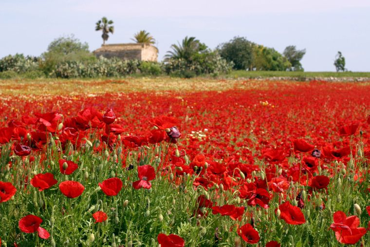 Mohnblumenwiese bei Manacor auf Mallorca