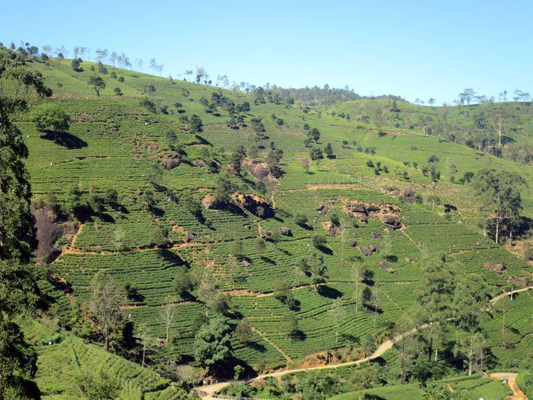 Blick auf eine Teeplantage in Sri Lanka.
