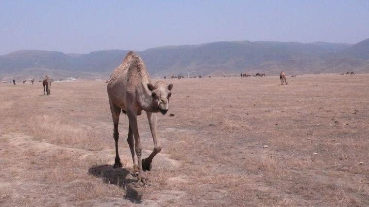 Dromedar im Oman