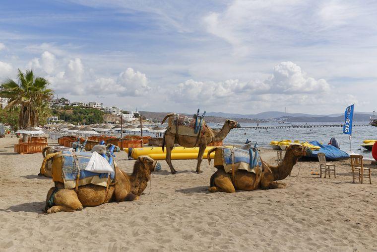 Die Kamele am Camel Beach in Bodrum sind eine beliebte Touristenattraktion.