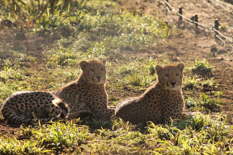 Zwei Geparden im Busch von Südafrika