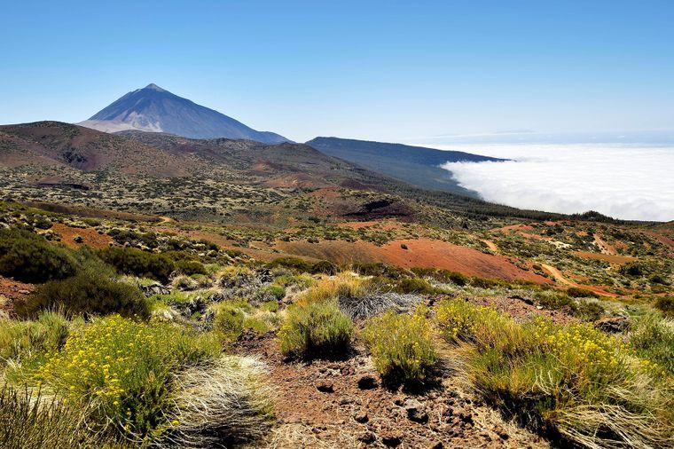 Blühende Besenrauke in der Vulkanlandschaft mit Blick auf den Vulkan Pico del Teide auf Teneriffa.