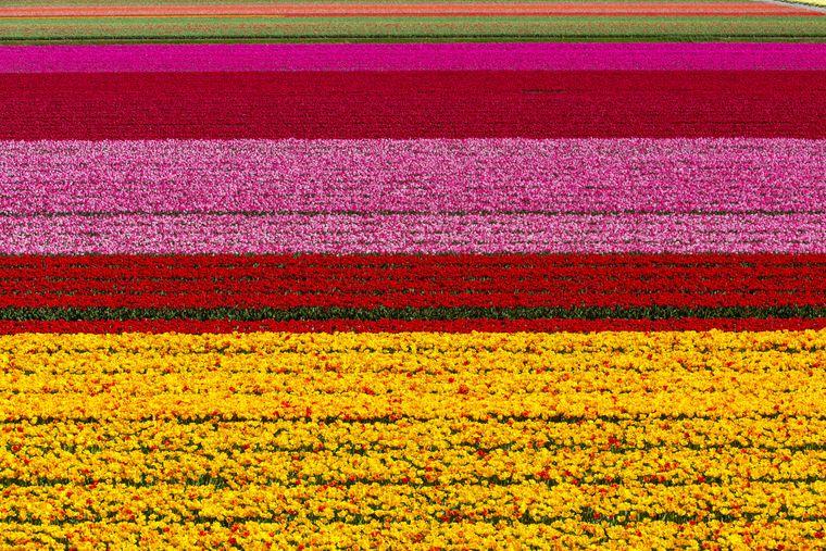Auf den Tulpenfeldern bei Lisse in Südholland kannst du eine wahre Farbexplosion bestaunen.