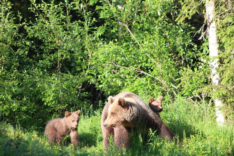 Zum Angebot der Arola Bear Farm gehören mehrere Blockhütten, von denen aus, sich die Bären in der Gegend gut beobachten lassen.