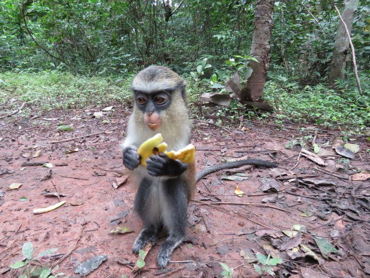 In Tafi Atome erlebst du Monameerkatzen hautnah. Die Affen lieben Bananen…