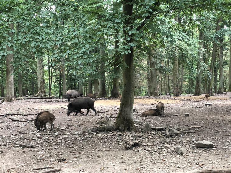Wildschweine im Wildpark.