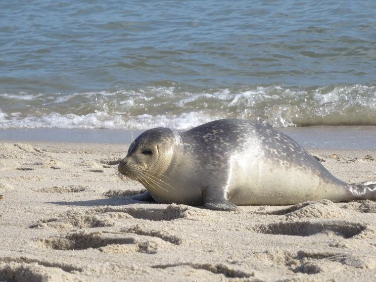 Robben am Strand Ellenbogen auf Sylt.