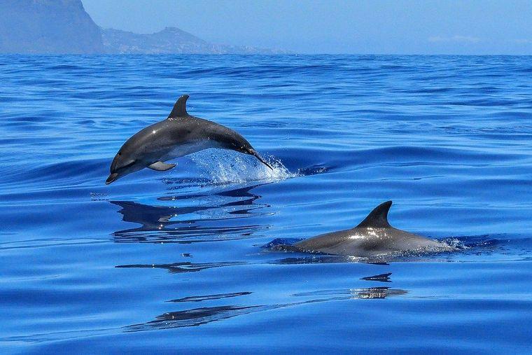 Delfine an der Algarve.