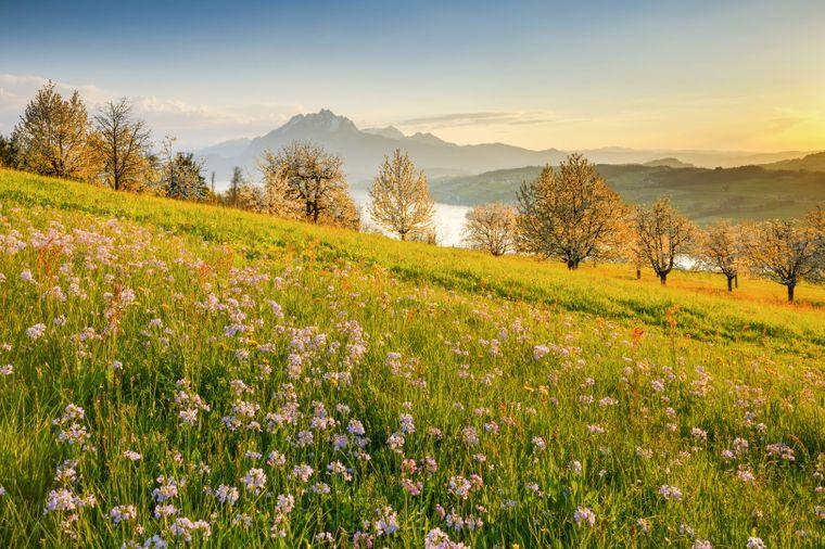 Wiesenschaumkraut auf einer Wiese mit Blick auf den Vierwaldstättersee in der Schweiz