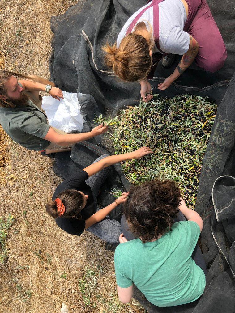 Volunteers bei der Olivenernte.
