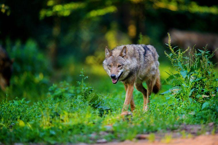 Ein europäischer Grauwolf im Wald.