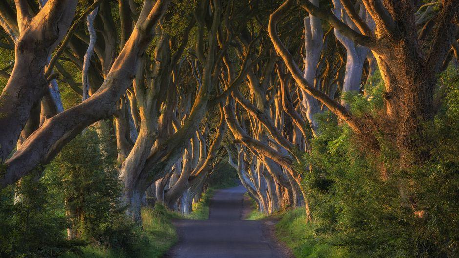Die Dark Hedges in Irland sind Filmkulisse für Game of thrones