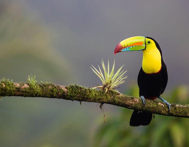 Ihr schillerndes Federkleid und der bunte Schnabel begeistern Touristen: Tukane sind in den Regenwäldern Costa Ricas zuhause.