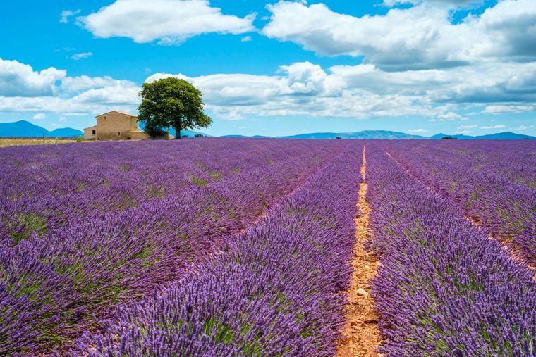 Lavendel-Felder weit und breit findest du in der französischen Provence.