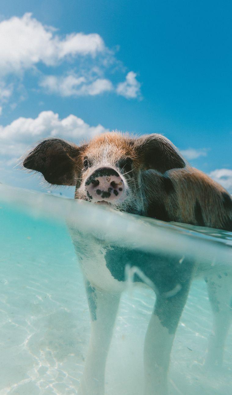 Woher die Schweine genau kommen, weiß niemand.