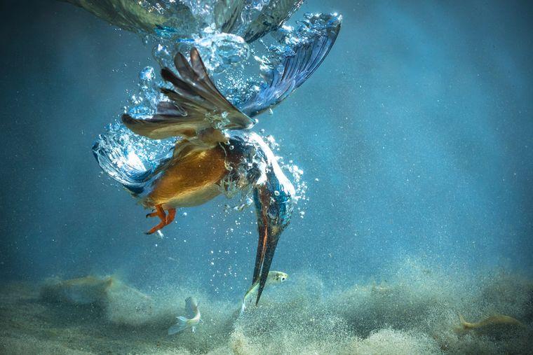 Ein Eisvogel fängt unter Wasser einen Fisch in Kroatien.