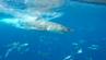 Der weiße Hai schwimmt am Haikäfig vorbei.