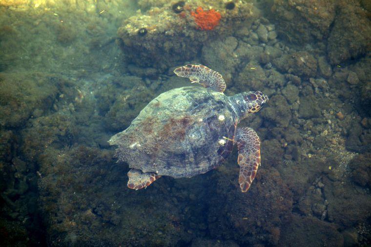Eine Unechte Kadettschildkröte im Ionischen Meer vor Kefalonia, Griechenland.