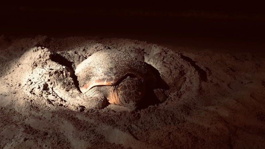 Eine Schildkröte bei der Eiablage auf Ibiza.
