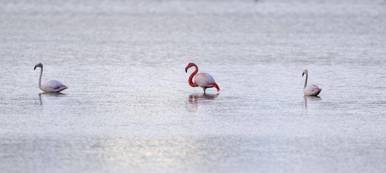 Flamingo-Brut im Zwillbrocker Venn.
