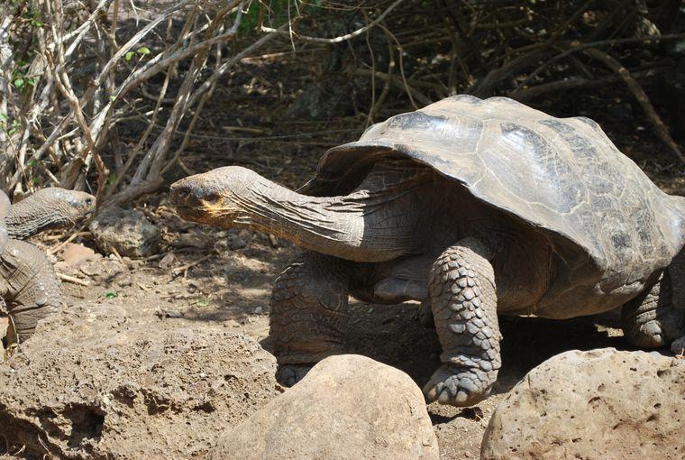 Im Reservat: Um den Bestand der Riesenschildkröten, der stark geschrumpft ist, zu vergrößern, werden die Tiere nachgezogen.