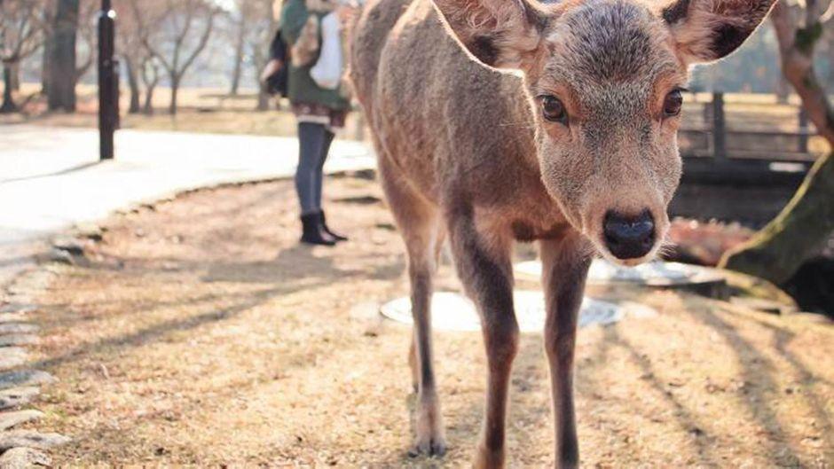 Die Nara-Hirsche dürfen nur mit Senbei-Crackern gefüttert werden, doch nicht alle Touristen halten sich daran.