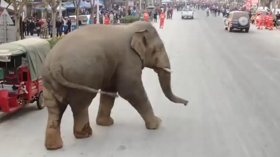 Ein Elefant läuft auf der Suche nach seiner Herde durch eine chinesische Stadt.
