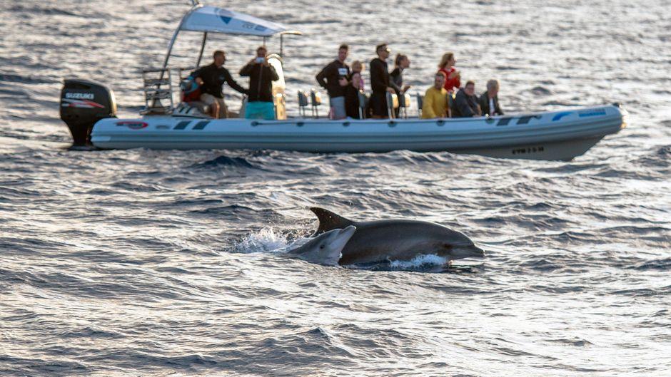 In Peguera hast du die einmalige Gelegenheit, bei einer Bootstour Delfine zu entdecken.