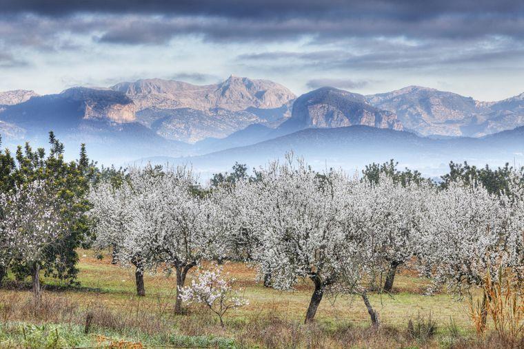 Die Mandelblüte von Mallorca ist ein echter Hingucker im Winter.