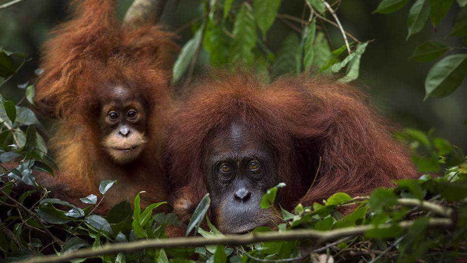 Zwei Orang-Utans in Sumatra im Nationalpark