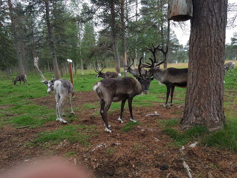 Beim Wandern im Wald kann man in Finnisch-Lappland auch Rentieren begegnen.