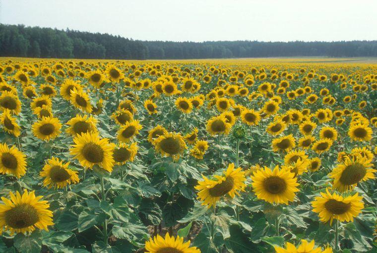 Herrlich: eines von vielen Sonnenblumenfeldern bei Potsdam.