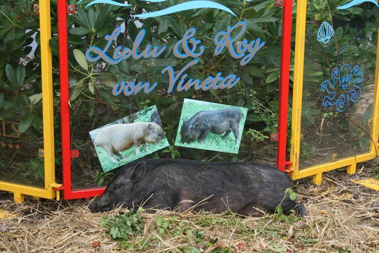 Das Gehege der Mini-Schweine Lulu und Roy.